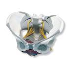 Mô hình giải phẫu dây thần kinh, dây chằng và các tầng cơ.