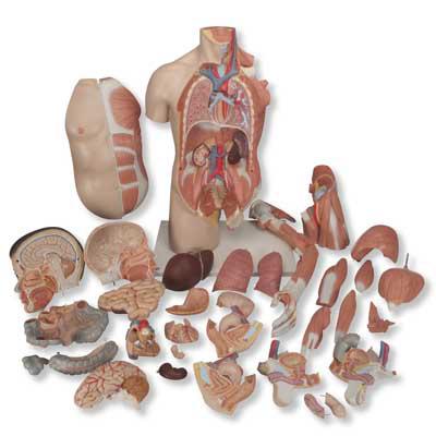 Mô hình bán thân giải phẫu kẹp cánh tay và cơ bắp