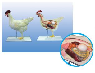Mô Hình giải phẫu gà