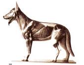 Mô hình giải phẫu chó
