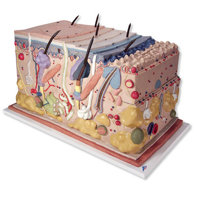 Mô hình giải phẫu da