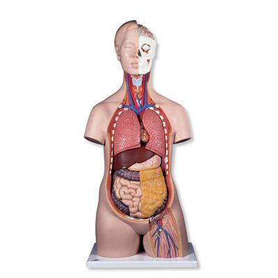 Mô hình bán thân giải phẫu 12 phần