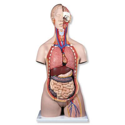 Mô hình bán thân giải phẫu 28 phần