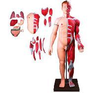 Mô Hình Giải Phẫu Cơ Thể Người