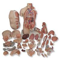 Mô hình bán thân giải phẫu 33 phần